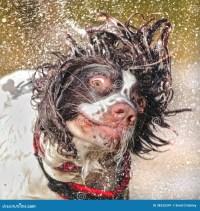 Wet dog shaking head stock image. Image of spaniel, high ...