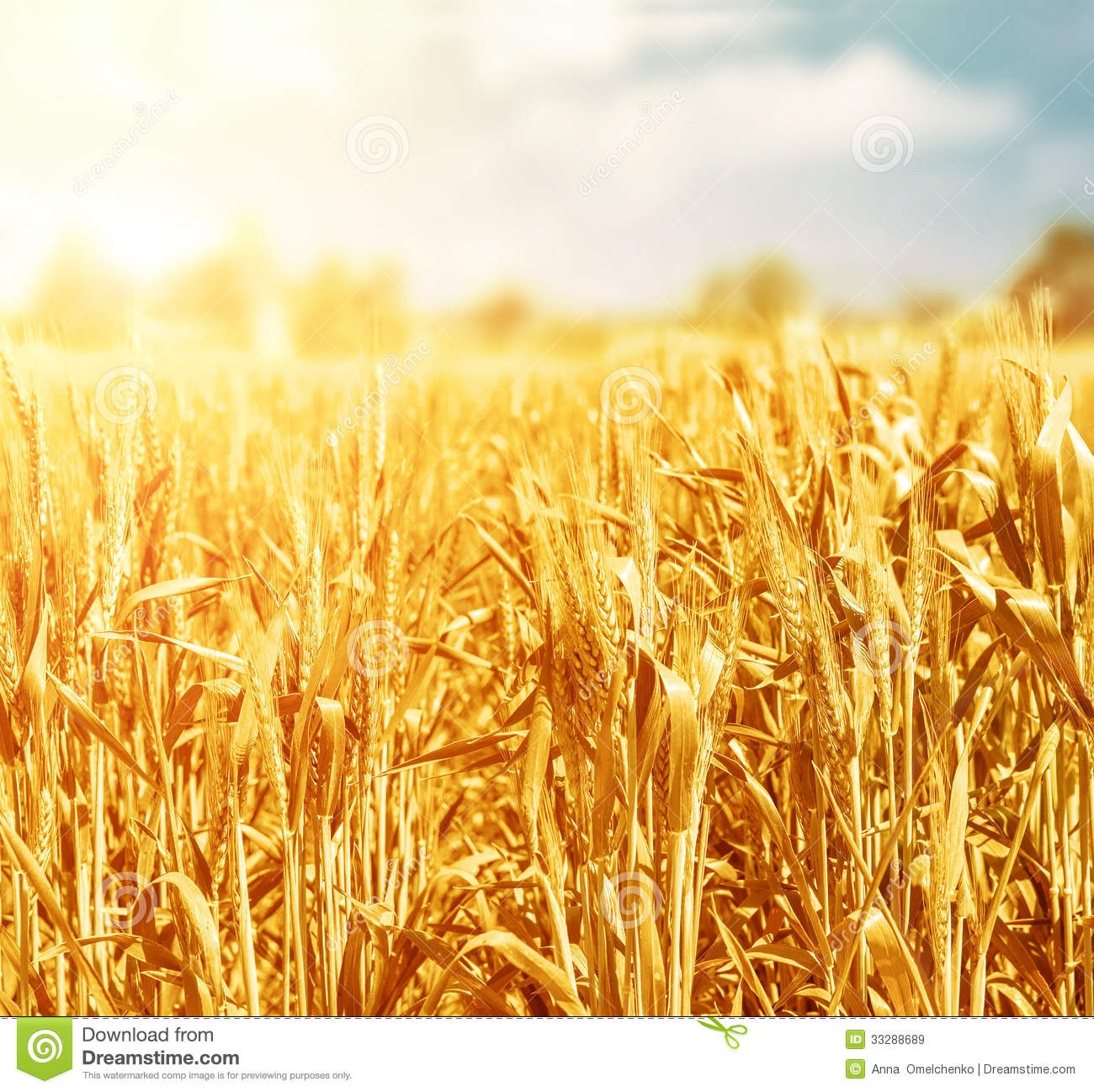 Free Country Fall Wallpaper Wheat Field In Sunny Day Stock Image Image Of Nature