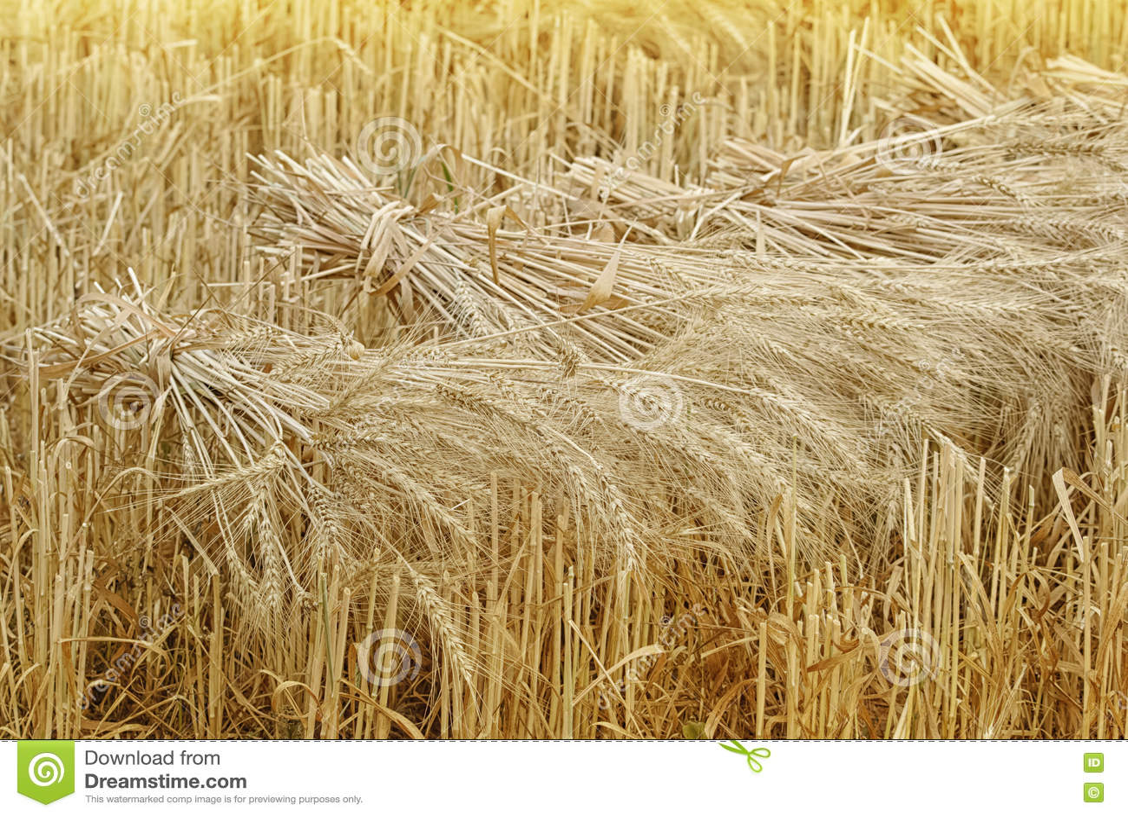 wheat sheaves at the