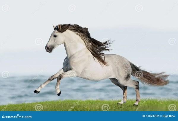 White Andalusian Horse Pura Raza Espanola Runs Gallop In