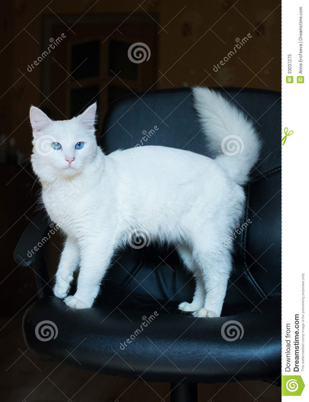 White Cat With Blue Eyes And Bushy Tail Royalty Free Stock
