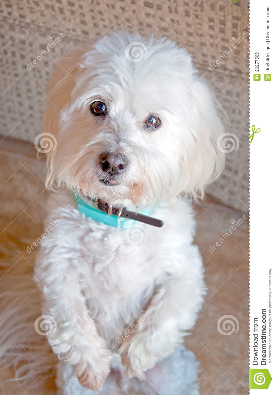White Coton De Tulear Dog Standing Up Stock Image Image