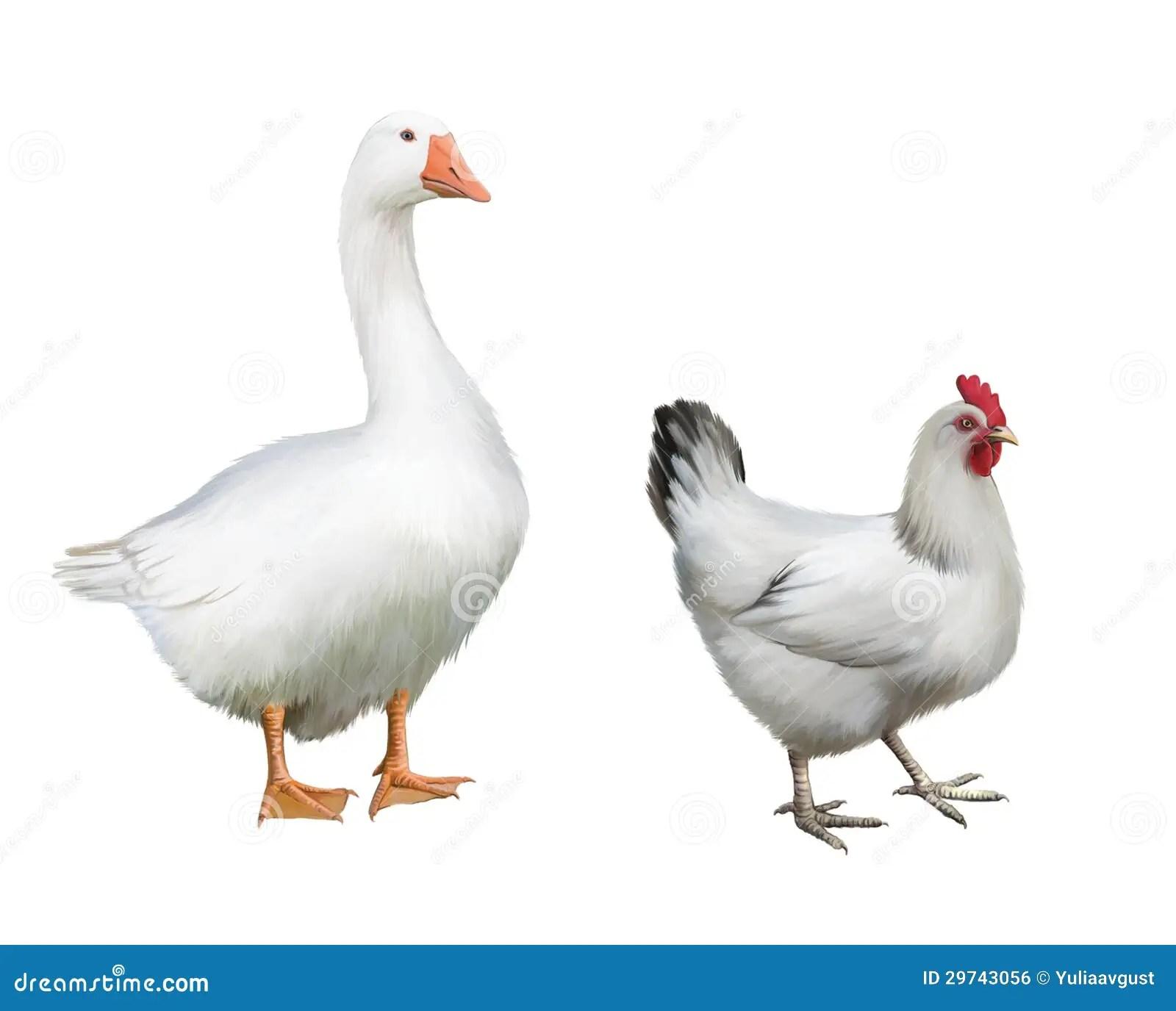 White Goose And White Chicken Stock Illustration