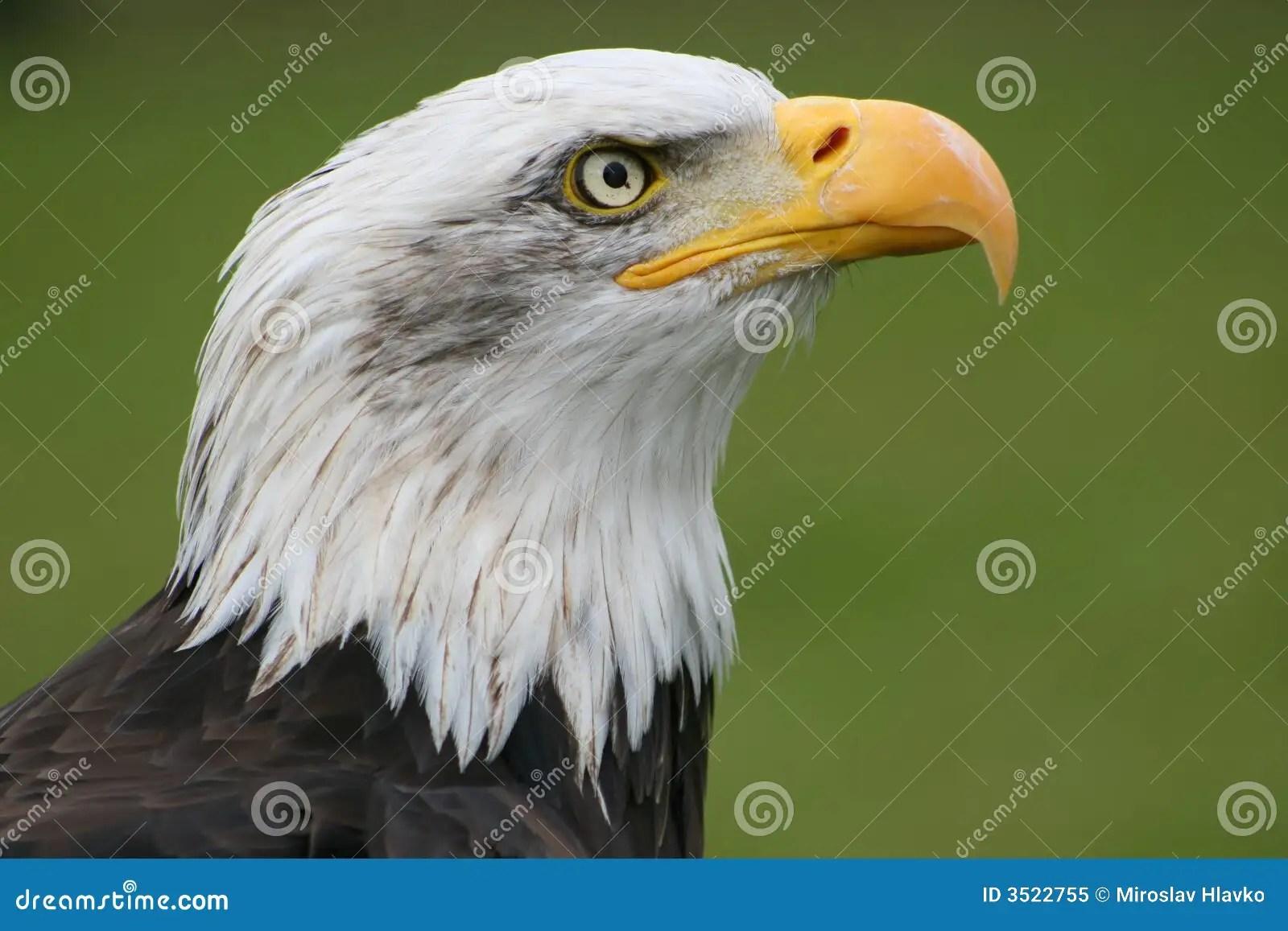 American Bald Eagle Feather