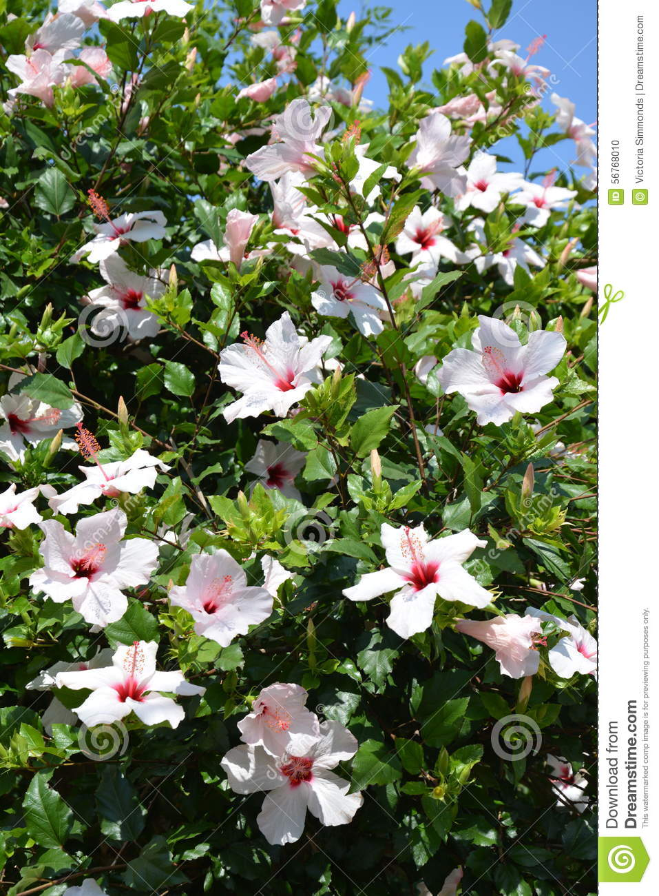 Marvelous Hibiscus Leaves Stock Images Royalty Free Images