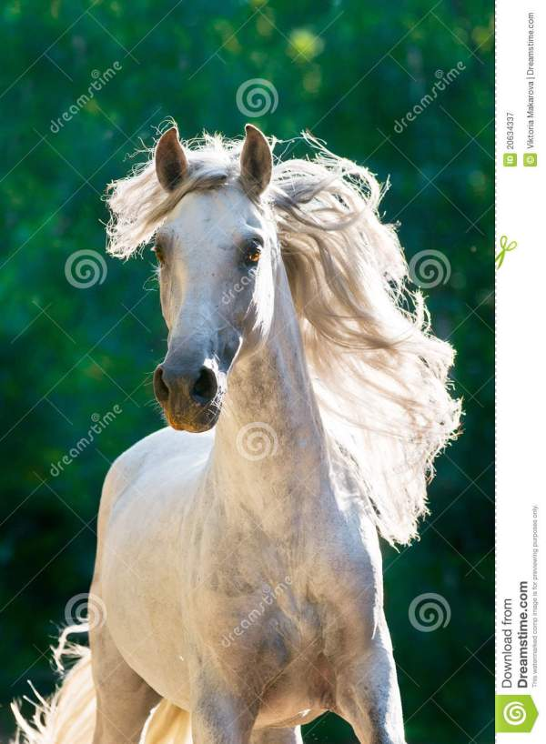 White Horse Runs Gallop Front Royalty Free Stock