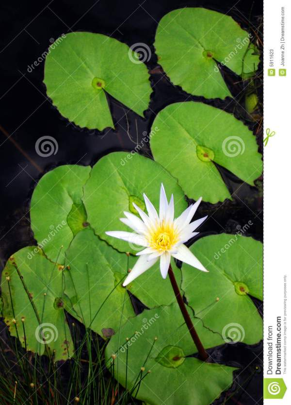 Lotus Water Lily Flower Stock - 5911623