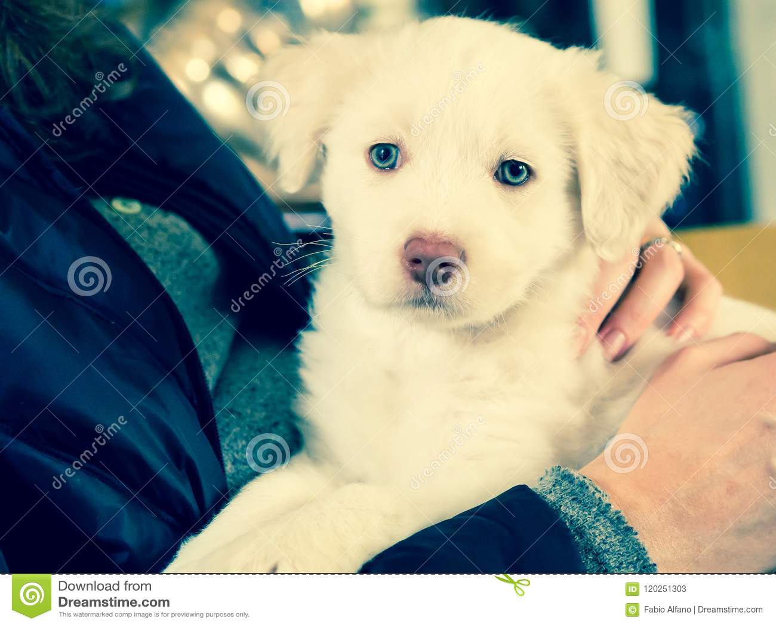 white maremma puppy dog