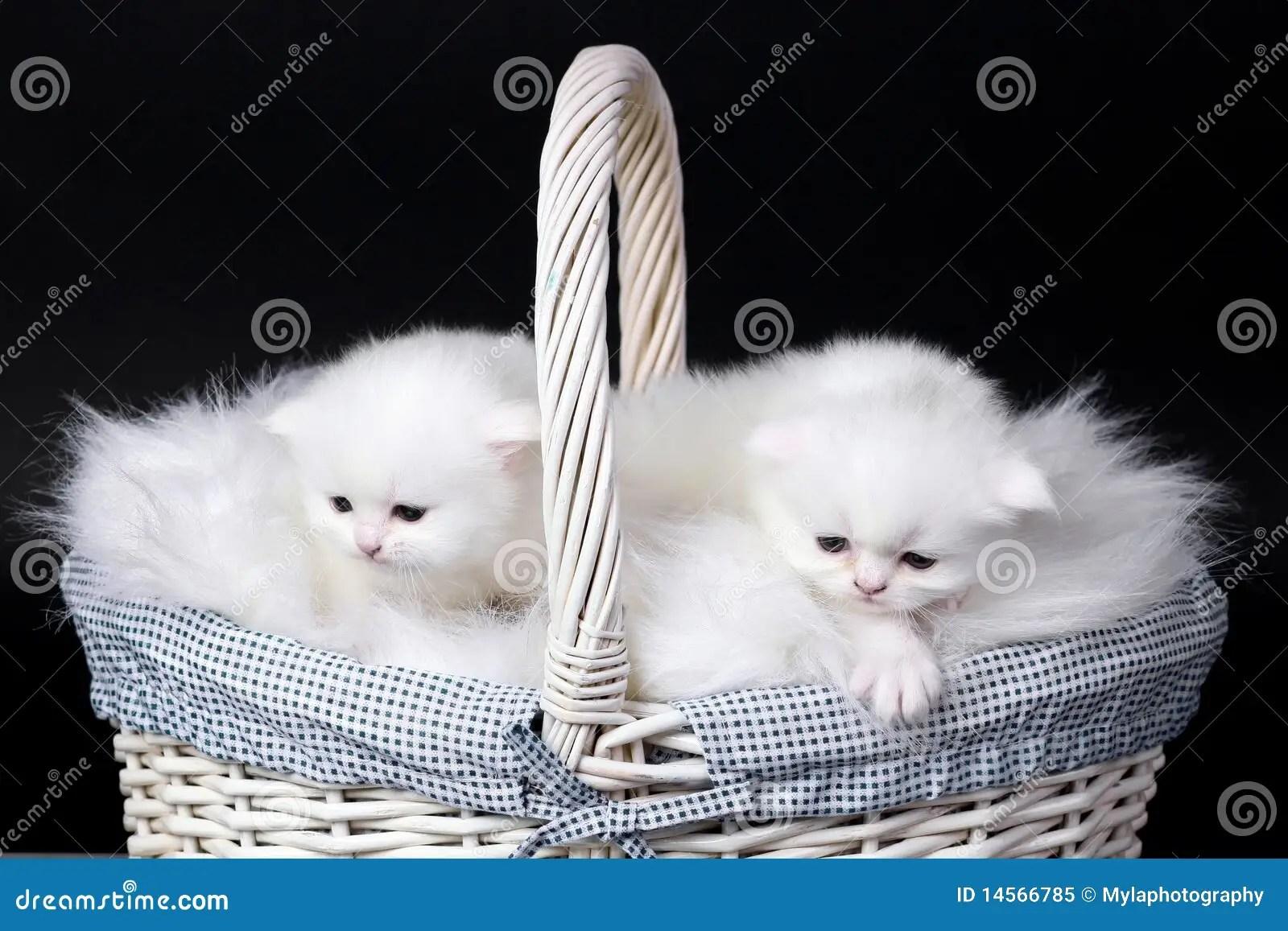 Cute Kitten Wallpaper Free White Persian Kittens Stock Image Image Of Persian