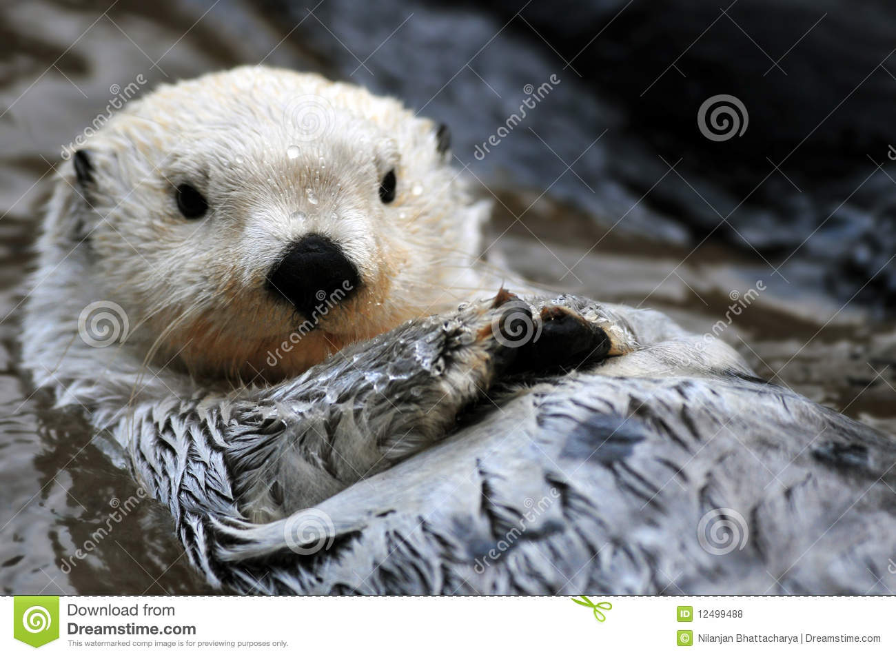 Cute Small Couple Wallpaper Hd White Sea Otter Royalty Free Stock Photos Image 12499488