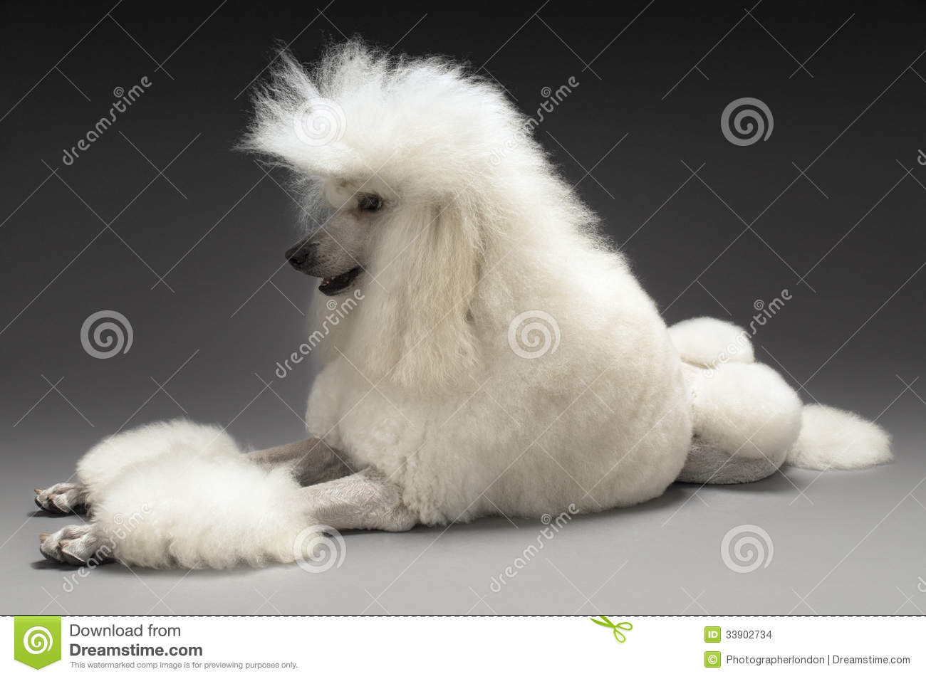 Download Wallpaper Of Cute Puppies White Standard Poodle Stock Images Image 33902734