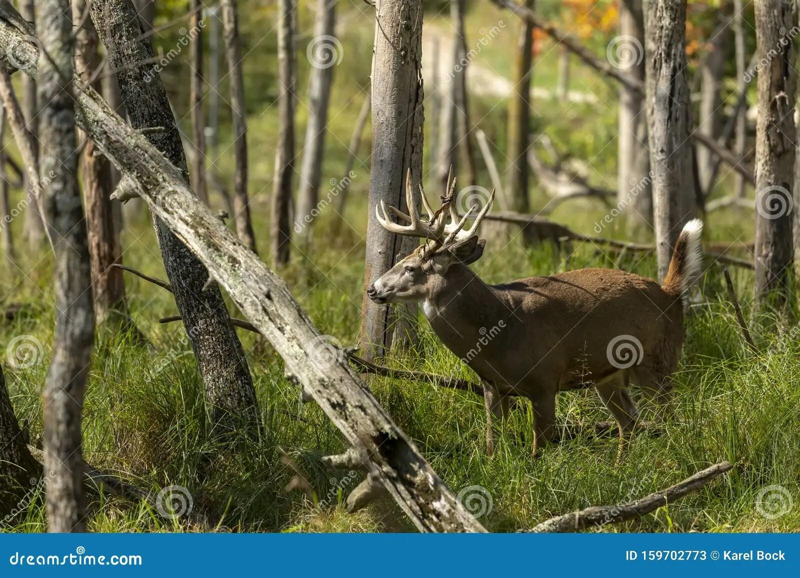White Tailed Deer In Natural Habitat Stock Image
