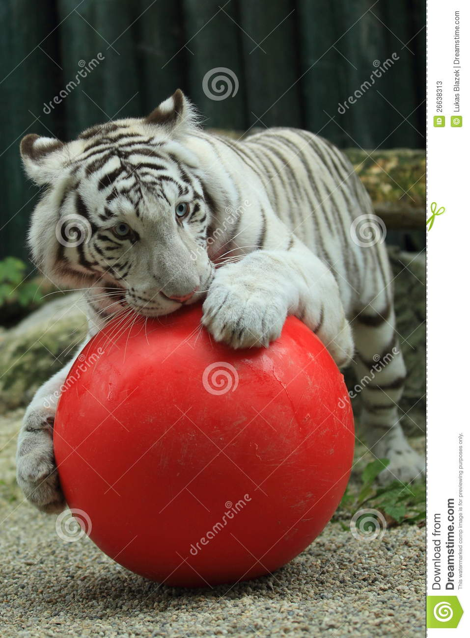 White Tiger With Ball Stock Photos Image 26638313