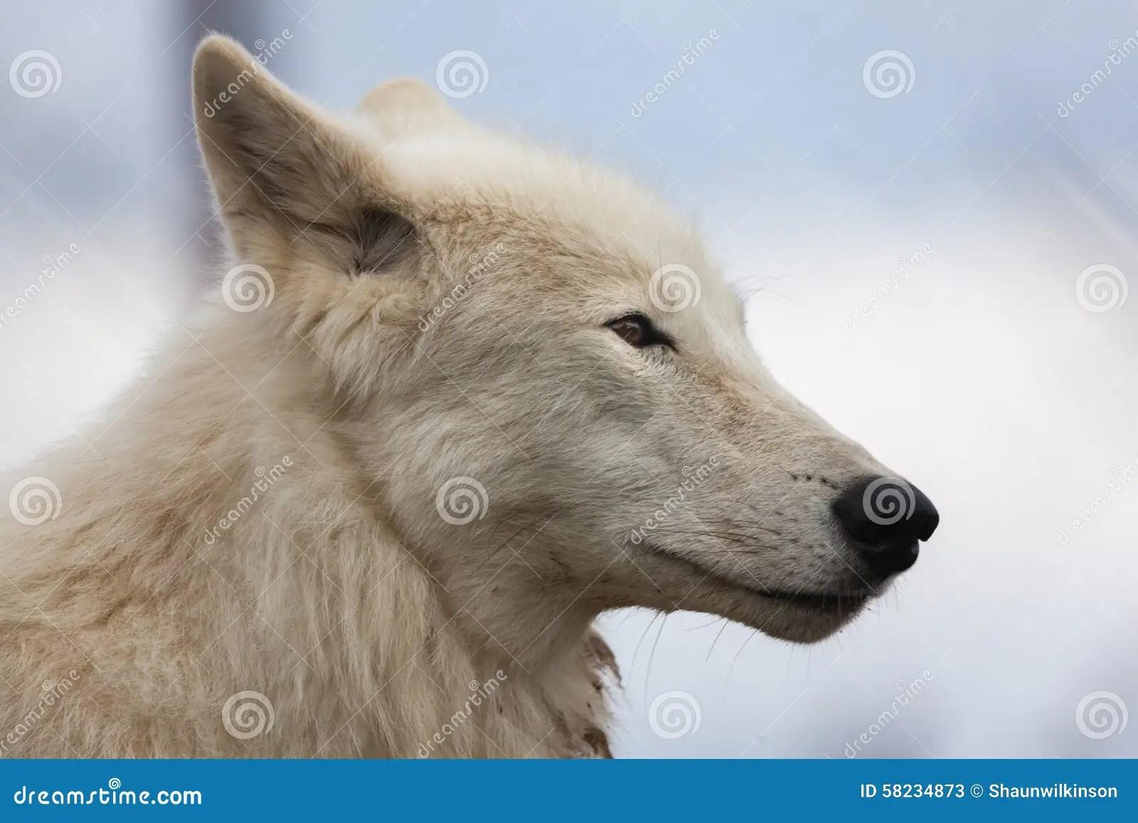 White Wolf Stock Photo  Image 58234873