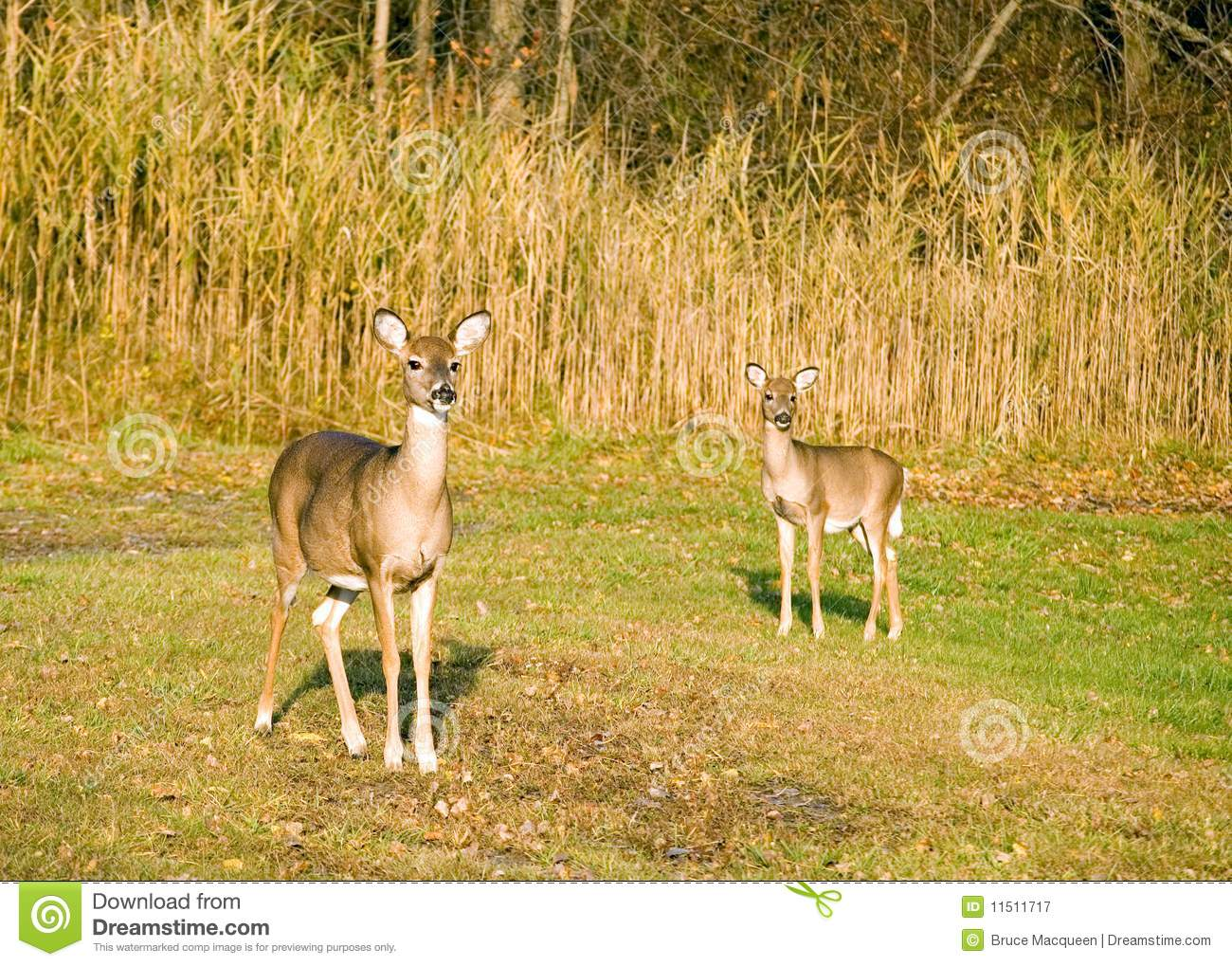 Whitetail Deer Doe With Yearling Stock Image