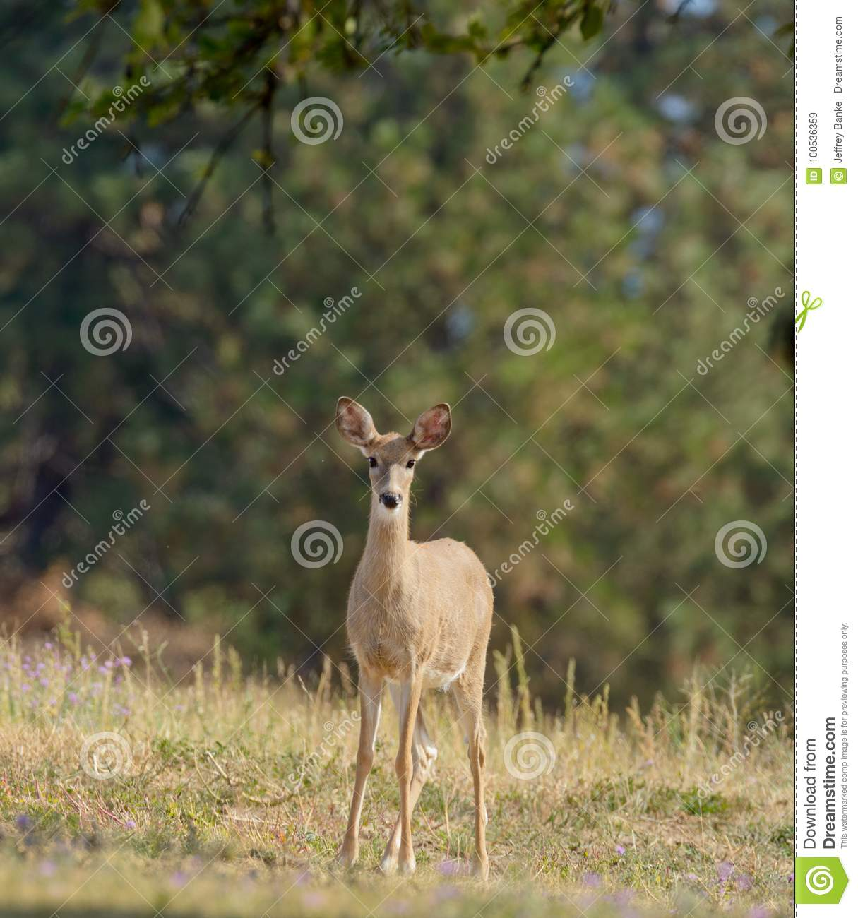 Whitetail Deer Stock Image Image Of Cloven Hunting