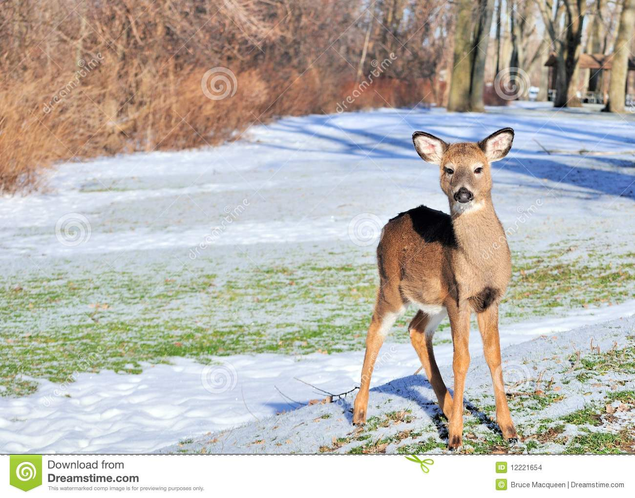Whitetail Deer Yearling Stock Photo Image Of Nature