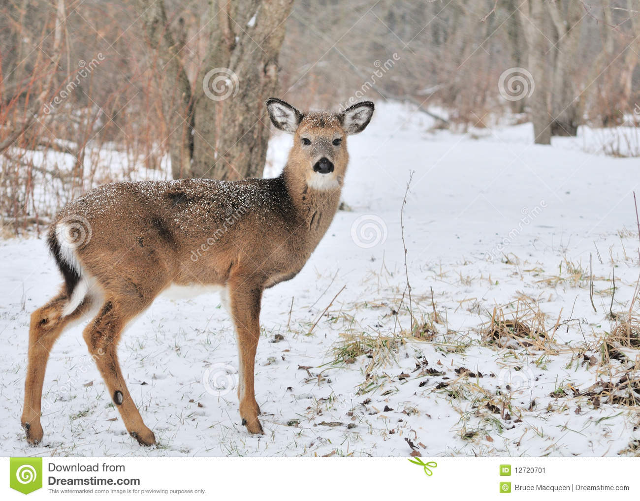 Whitetail Deer Yearling Stock Image Image Of Woods Cold