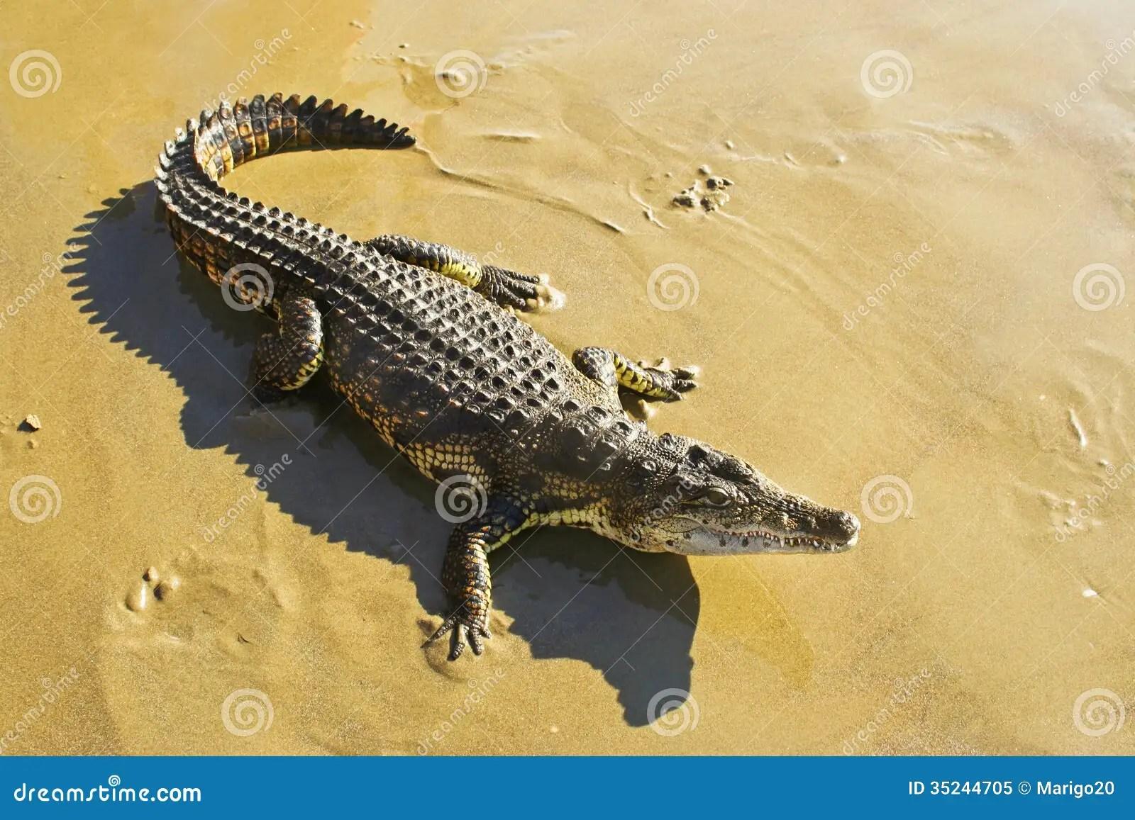 Wild Animal Crocodile Royalty Free Stock Photo