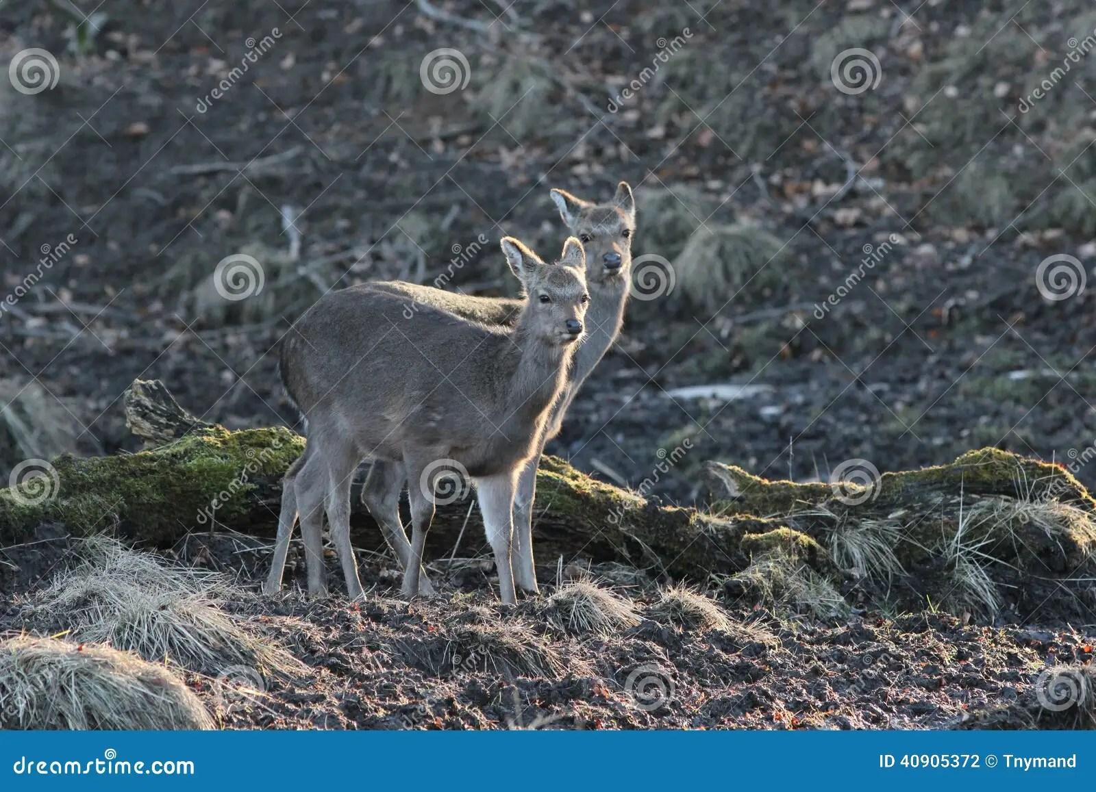 Wild Deer In Natural Habitat Stock Photo