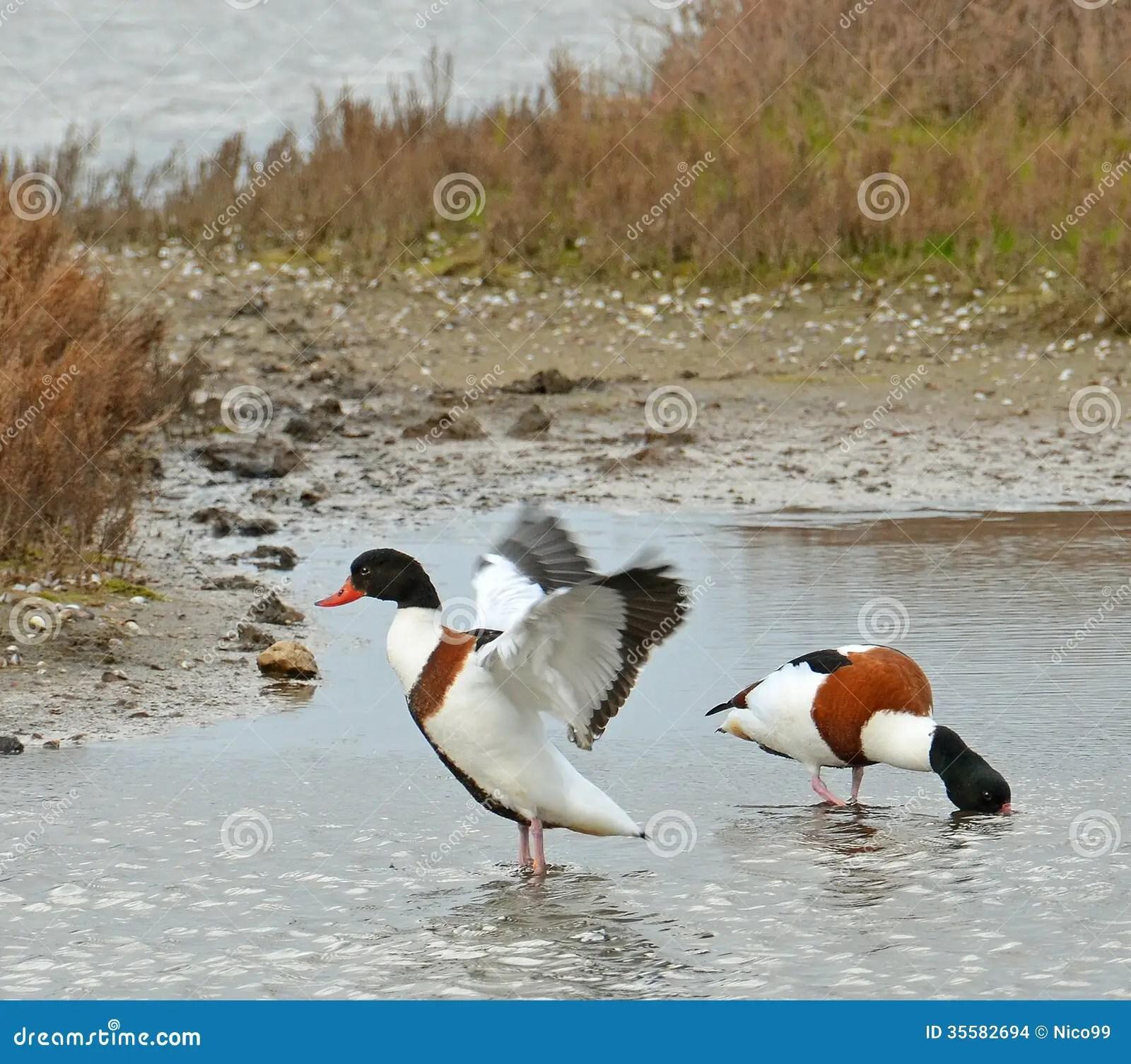 wild ducks couple stock
