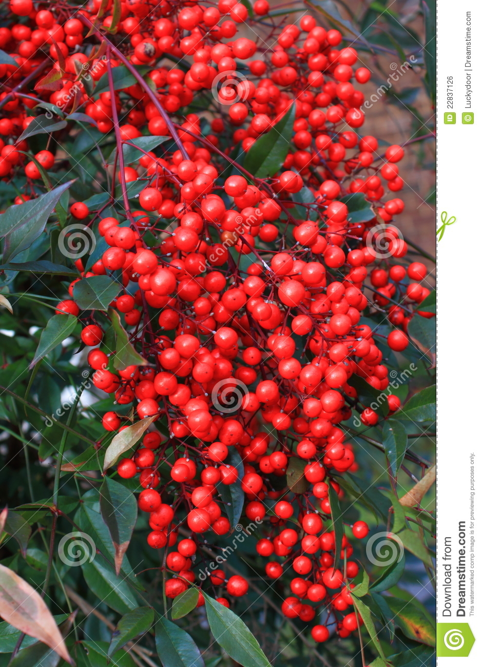 Wild Red Berry Royalty Free Stock Image  Image 22837126