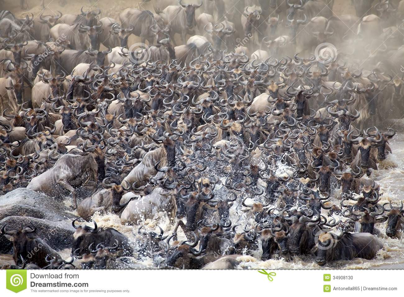 Wildebeest Connochaetes Taurinus Stock Photo