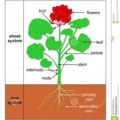 Parts Of A Flowering Plant Diagram Starter Relay Wiring Wildemalva (pelargonium Zonale) Stock Illustration - Education, Graphic: 58249788