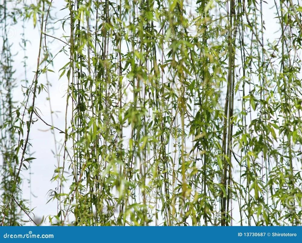 medium resolution of willow tree