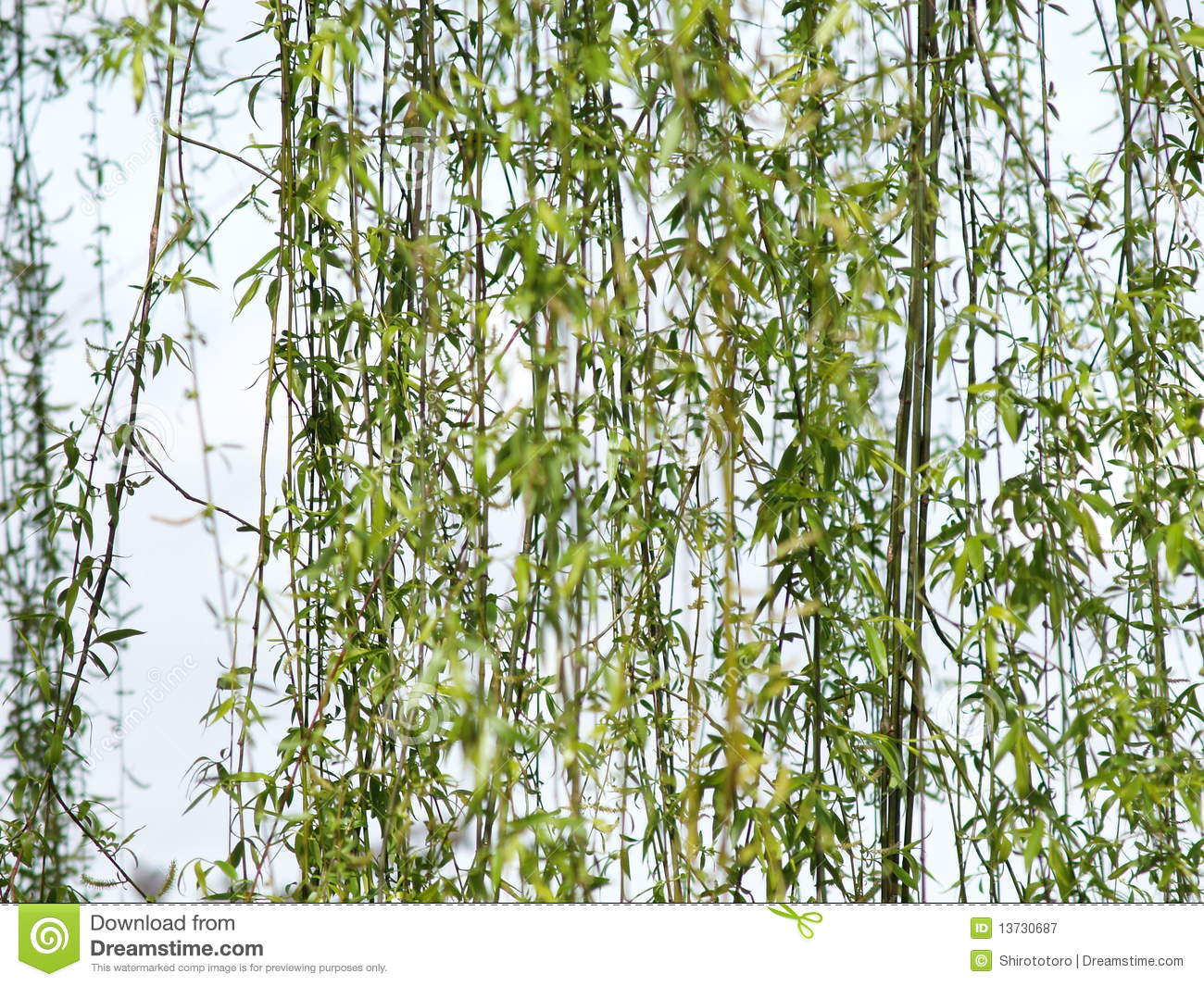 hight resolution of willow tree