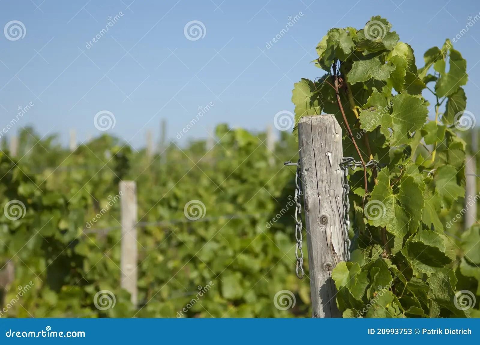 Wine Grapes In Harvest Season Stock Image - Image of vineyard. riesling: 20993753