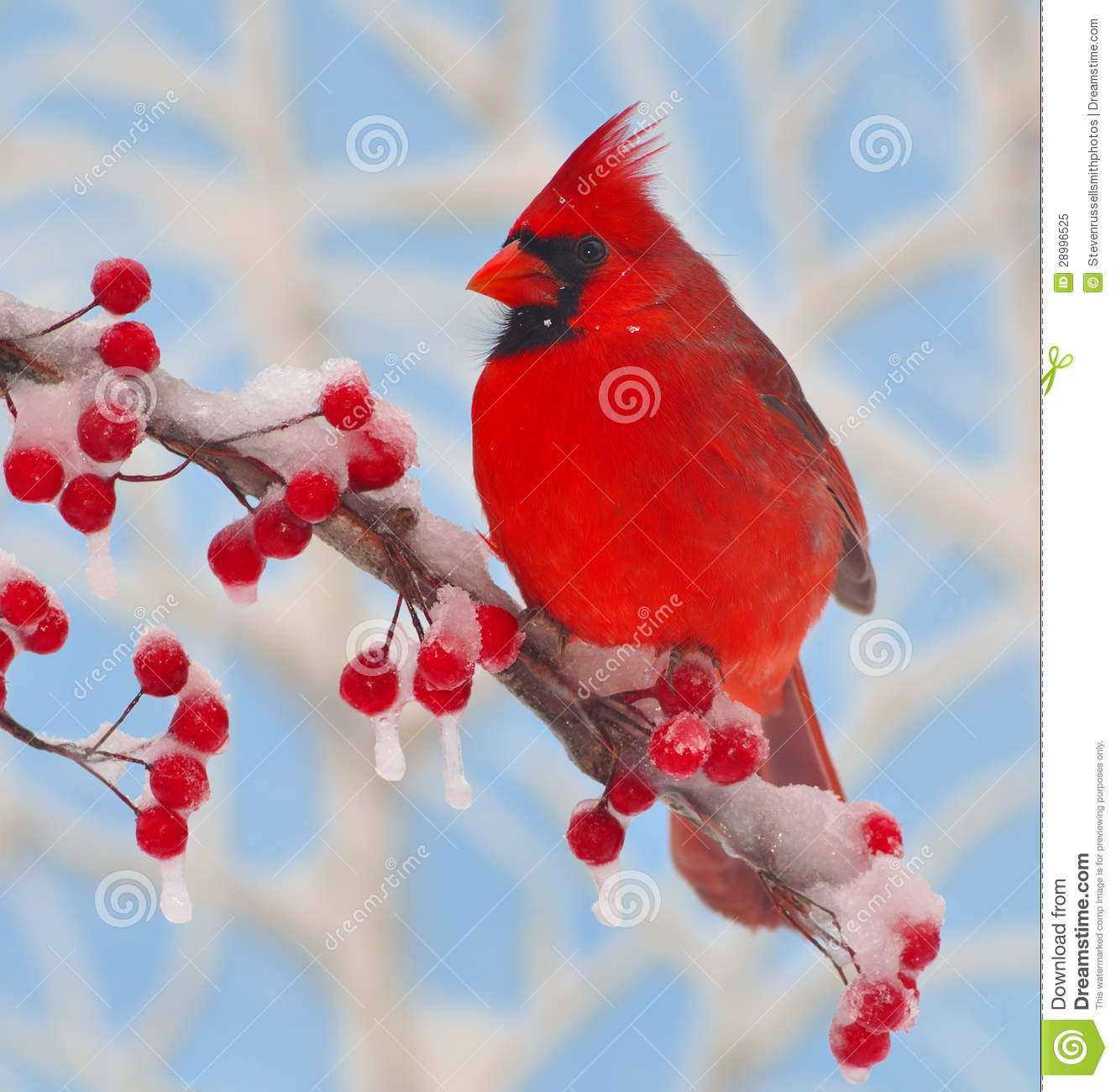 Winter Cardinal At Icy Berries Stock Image Image Of