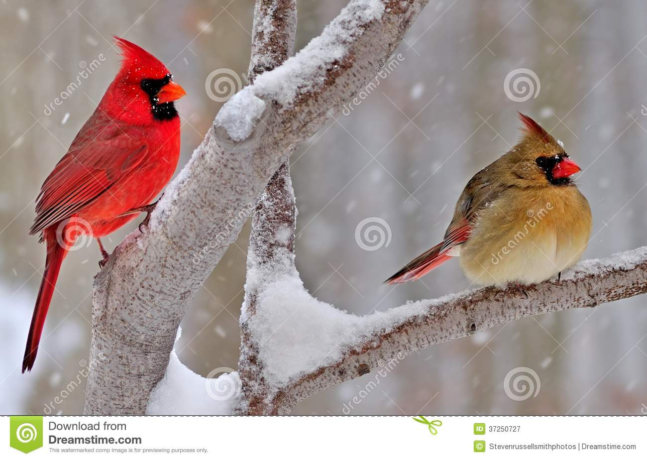 Winter Northern Cardinals Royalty Free Stock Photography