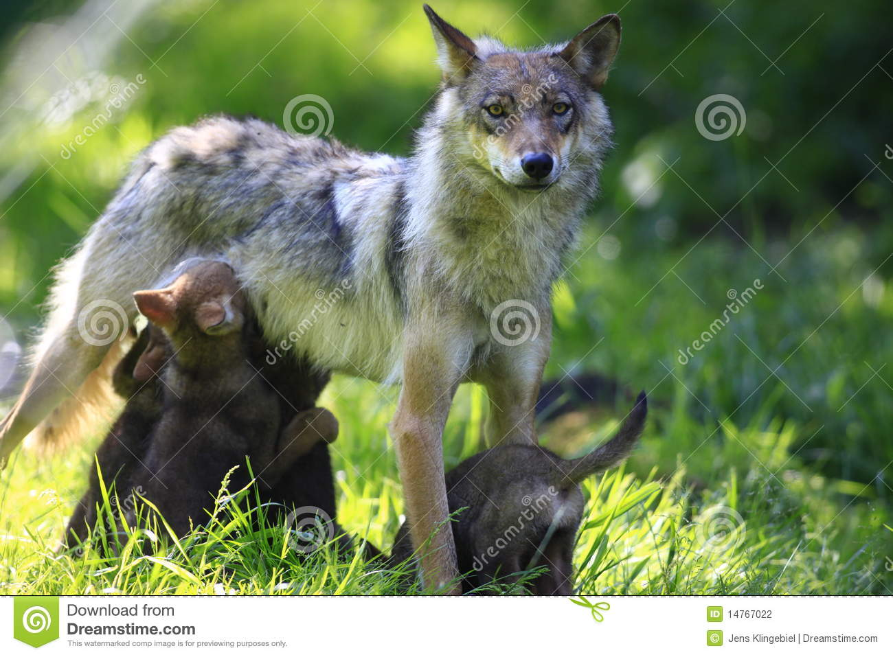 cute wolf royalty free stock photography