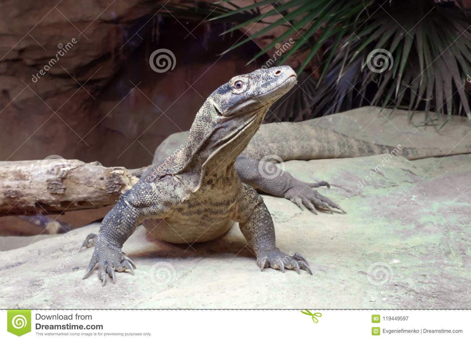 Komodo Dragon Bronx Zoo