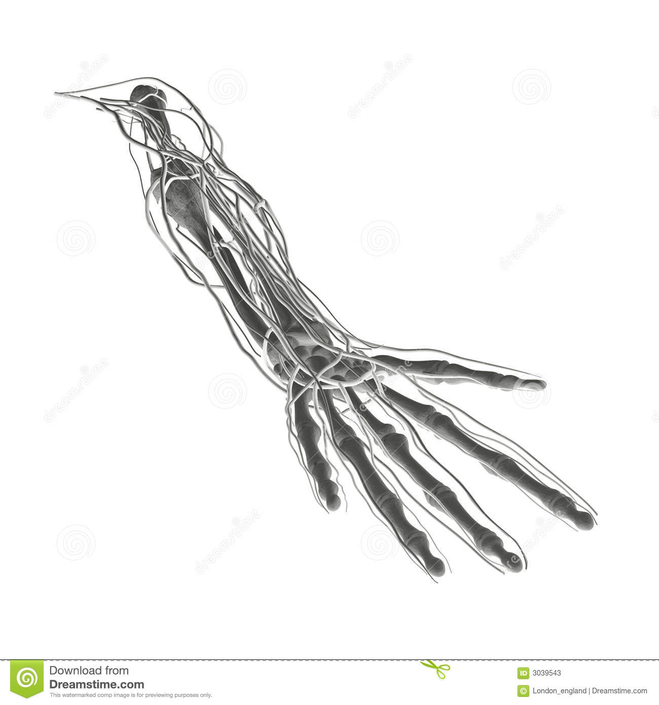 X Ray Bones Arteries Veins Stock Illustration