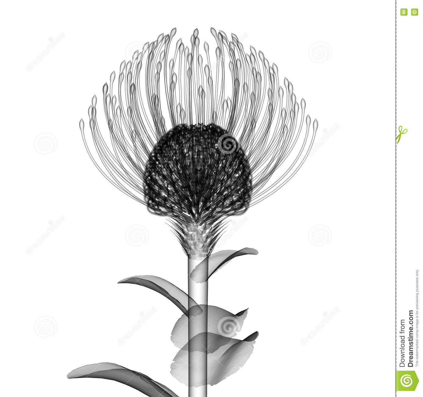 X Ray Image Of A Flower Isolated On White The Nodding