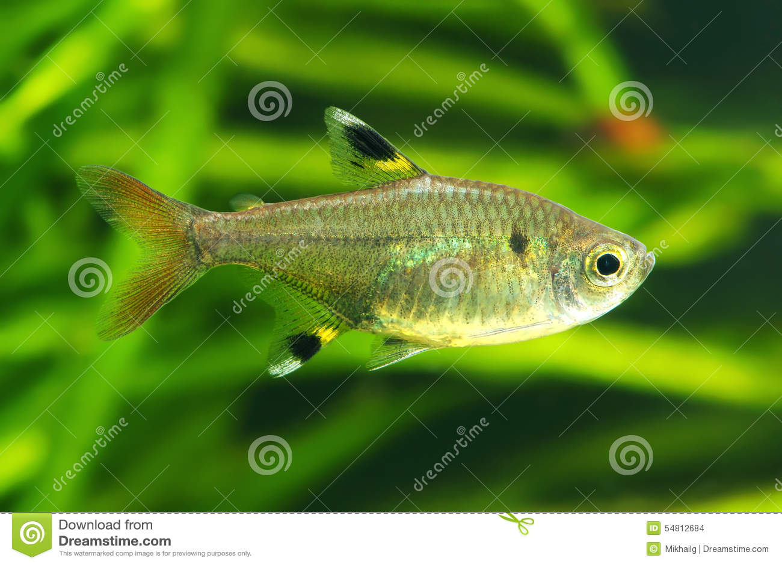 X Ray Tetra Stock Photo Image Of Maxillaris Aquarium