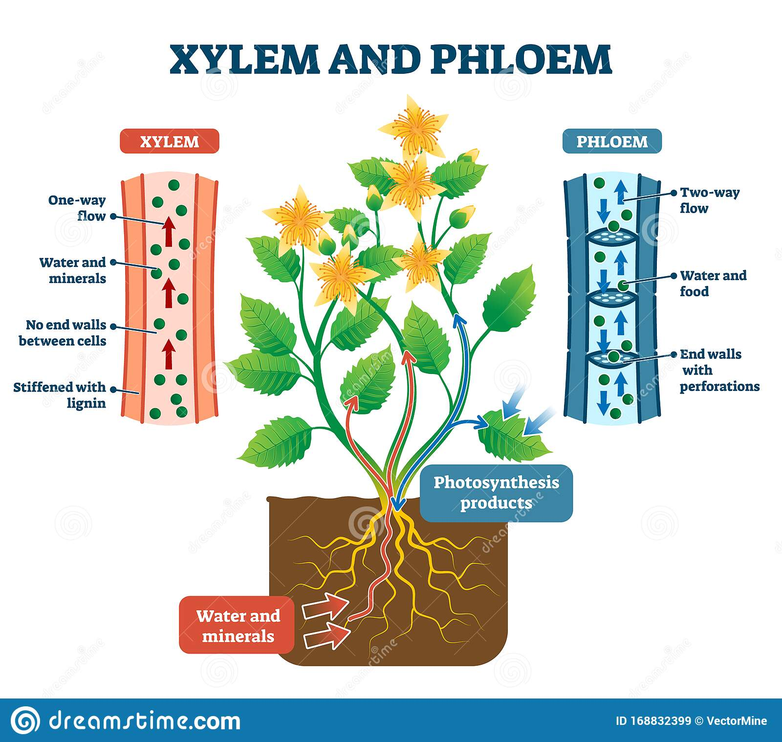 Xylem And Phloem Vector Illustration Labeled Plant