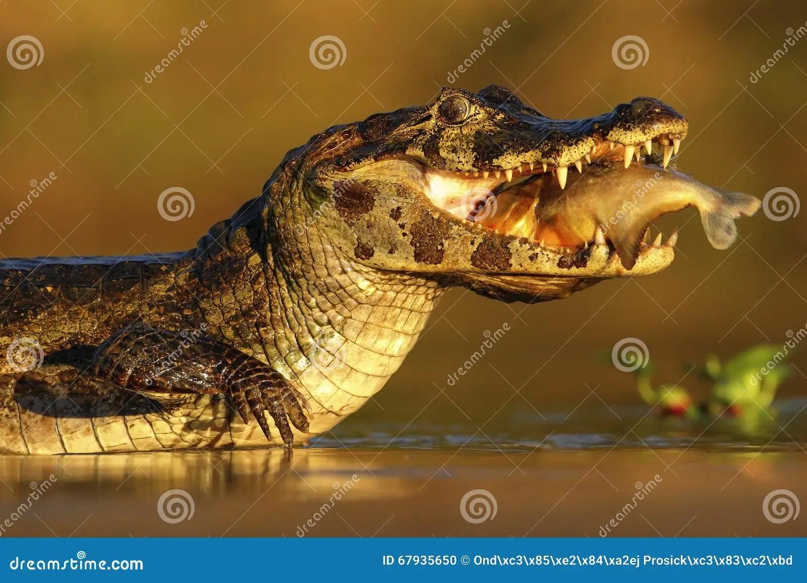 Yacare Caiman Crocodile With Fish In With Evening Sun