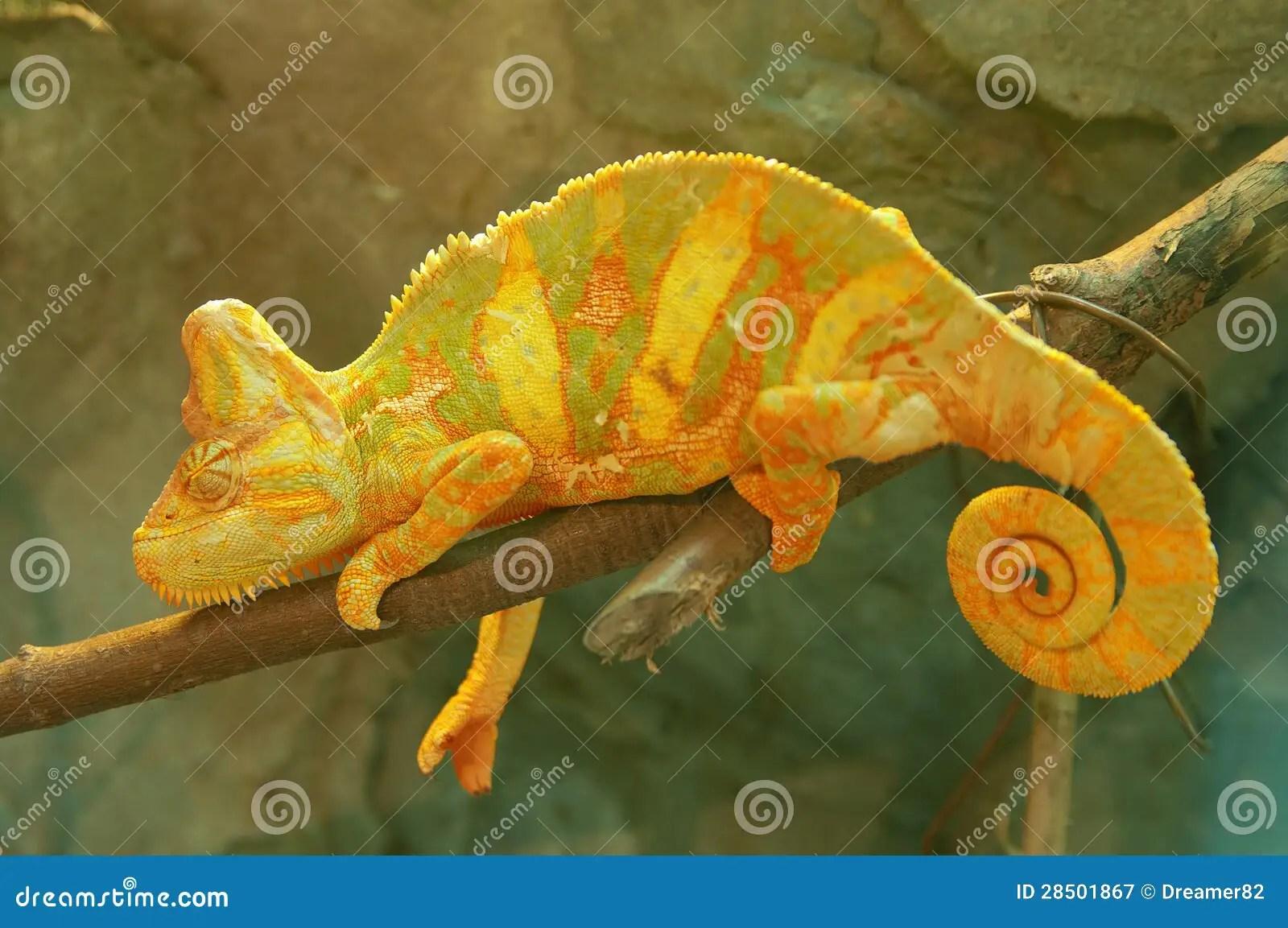 Yellow Green Chameleon