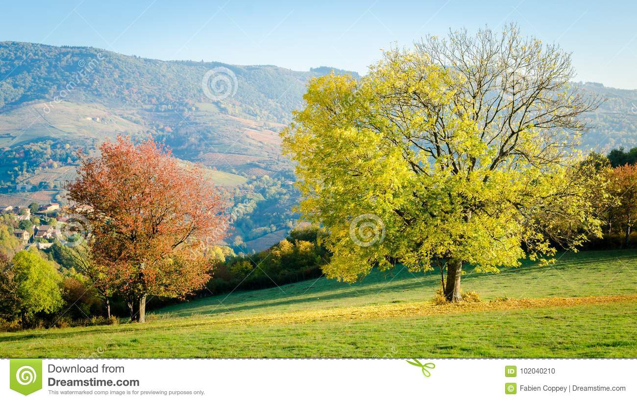 The Yellow Leaf Tree And The Red Leaf Tree Stock Photo