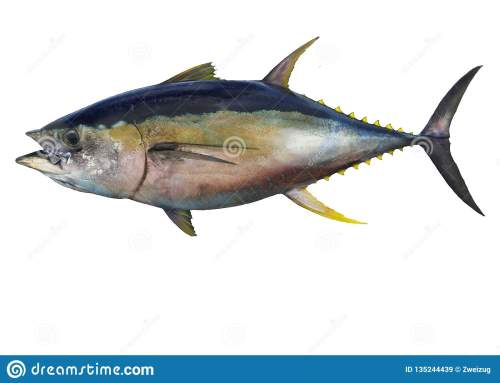 small resolution of yellowfin tuna fish isolated on white background