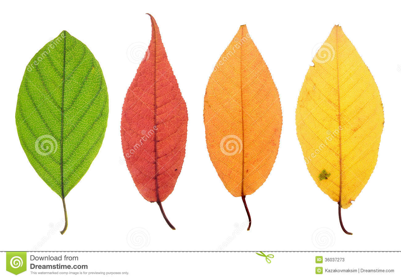 Yellowing Leaf Stage Stock Photos