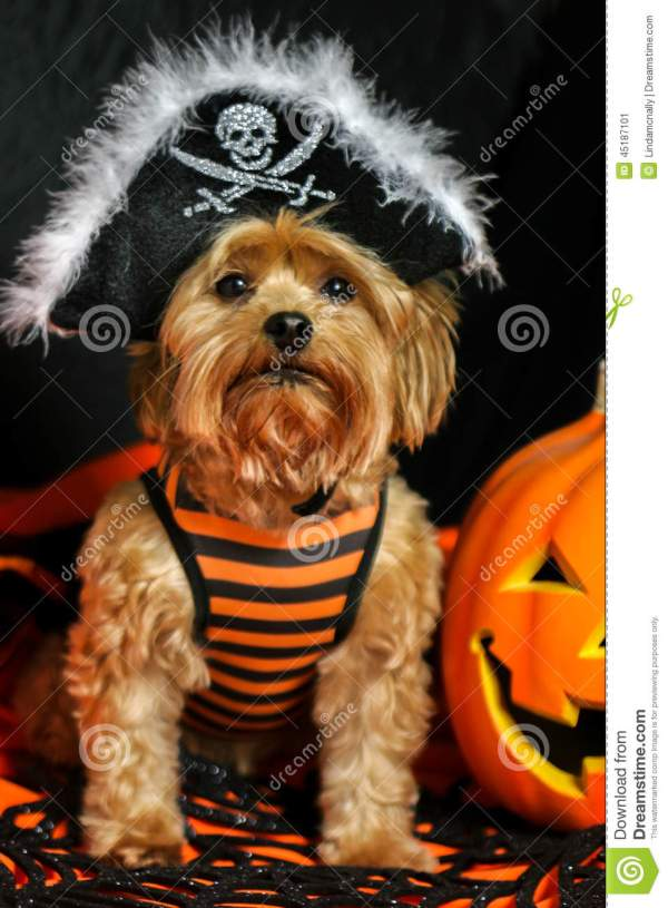 Yorkie Dog Wearing Pirate Hat For Halloween Stock Photo