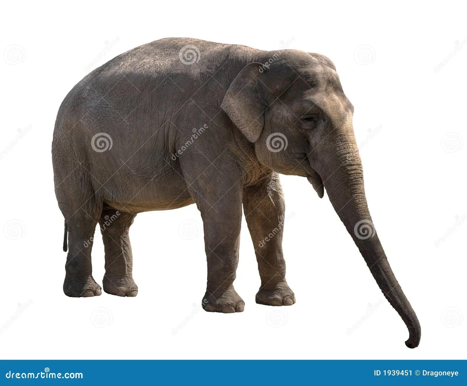 Young Elephant Female Cutout Stock Image