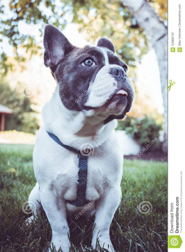 young gray and white french bulldog posing for the camera stock