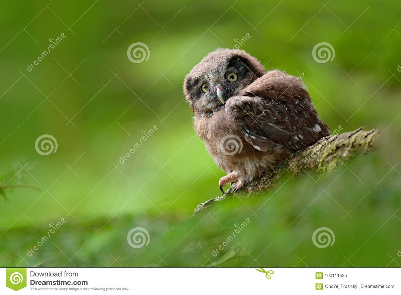 Young Owl In Forest Owl In Green Vegetation Habitat