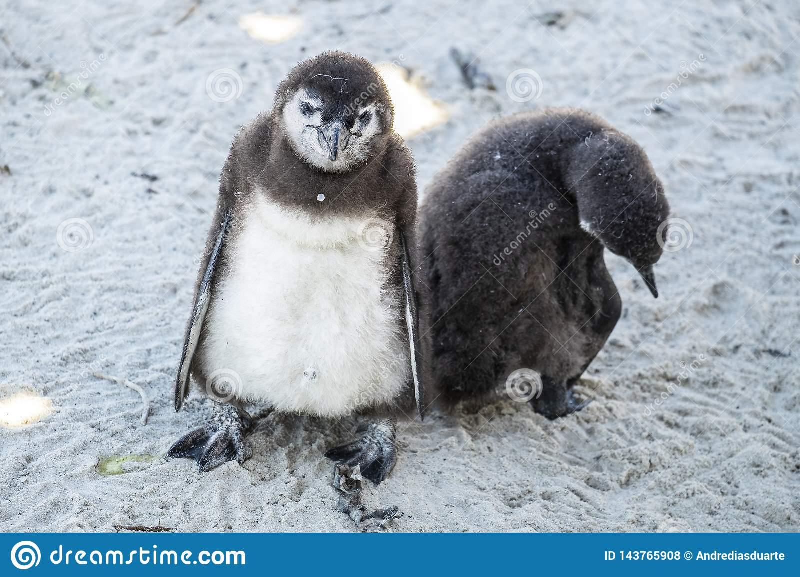 young penguins at the