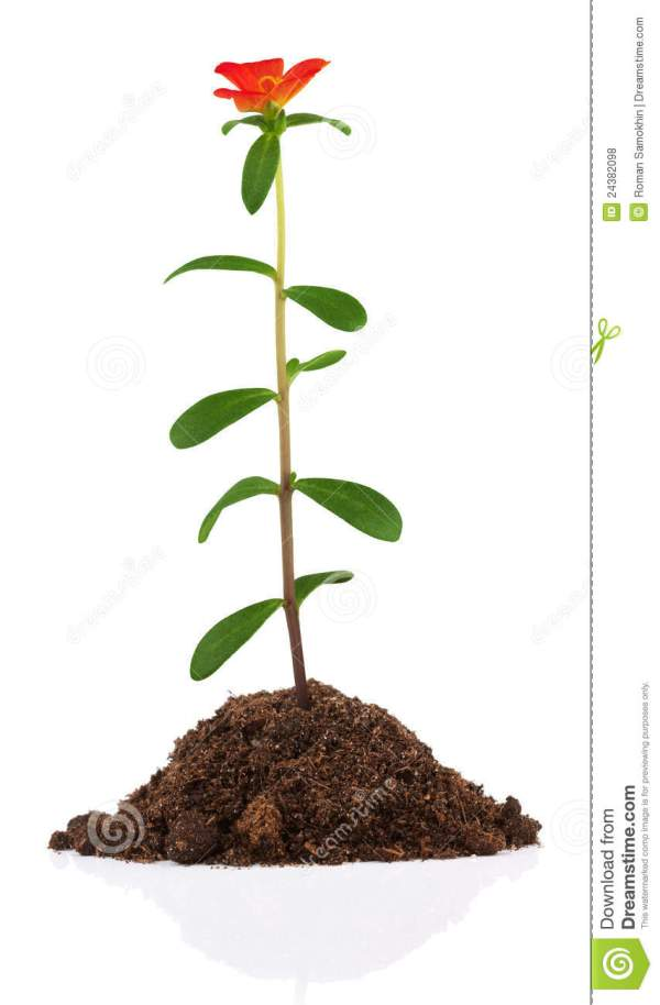Young Plant With Flower In Soil Royalty Free Stock